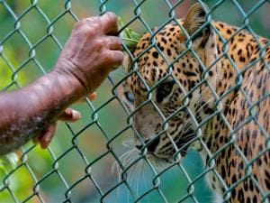 A Sri Lankan zoological garden employee reaches to apply oil on a leopard as a blessing ritual to mark the Sinhalese and Tamil traditional New Year in Colombo, Sri Lanka