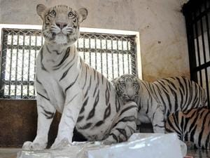 White tigers sit around ice blocks to beat the heat at Nandankanan Zoological park