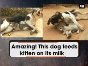 Amazing! This dog feeds kitten on its milk
