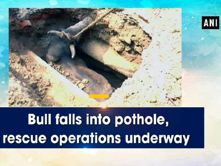 Bull falls into pothole, rescue operations underway