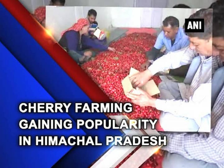Cherry farming gaining popularity in Himachal Pradesh