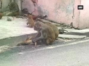 Locals blame administration as dog, monkey menace is on the rise