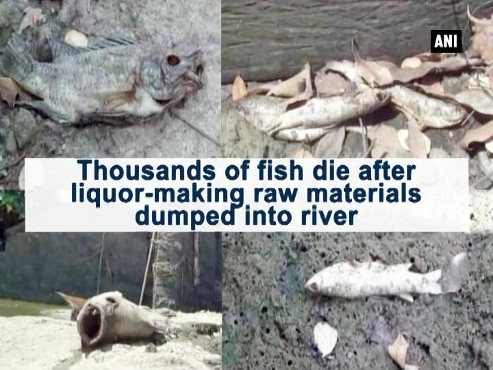 Thousands of fish die after liquor-making raw materials dumped into river