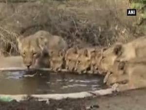 Watch: Asiatic lions at watering hole in Gir National Park
