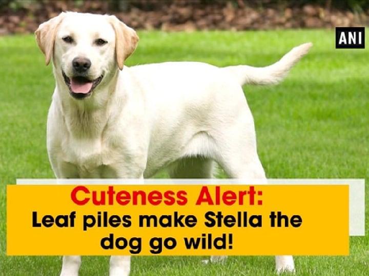 Cuteness Alert: Leaf piles make Stella the dog go wild!