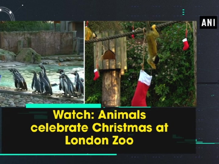 Watch: Animals celebrate Christmas at London Zoo