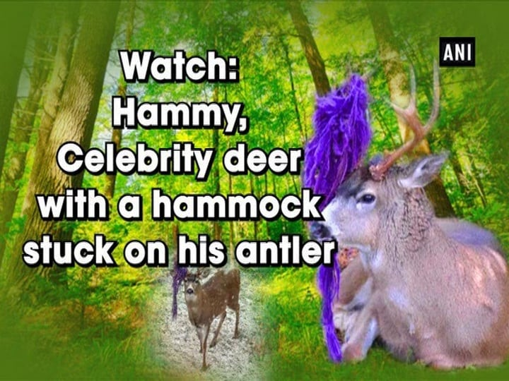 Watch: Hammy, Celebrity deer with a hammock stuck on his antler