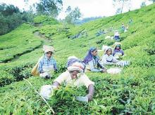 Kerala's plantations face a perfect storm