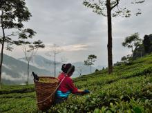 Prices of quality teas fall due to global oversupply