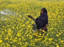 A farmer casts urea on her mustard field in Allahabad