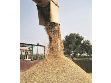 Government may end up buying less than 30 million tonnes of wheat