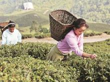 Darjeeling tea signs bonus pact; owners asked to shell out Rs 60 cr