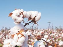 Cotton exports estimated to reach 7.5 million bales, highest in 4 years