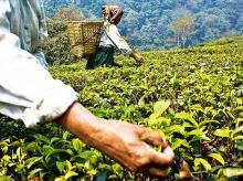 Darjeeling tea workers may get equity stake in gardens