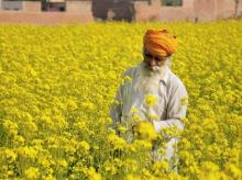 farmers, crop, agriculture, mustard