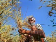 farmer, agriculture, paddy
