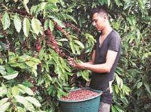 A coffee plantation in Nicaragua. Thanks to the growing  popularity of a sweet drink made of  coffee husk, the price of the byproduct now fetches more than the bean