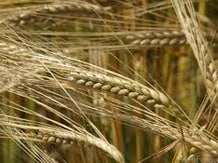 China suspends barley imports from Australia's largest grain exporter