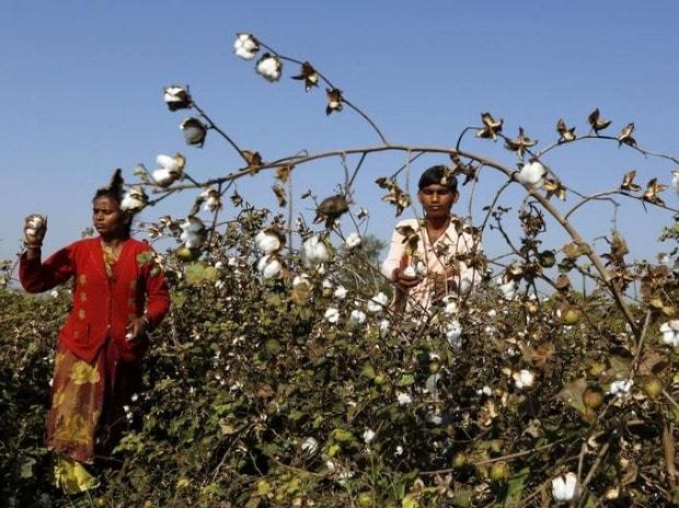 Farmers harvest cotton in a field in Nana Viramgam village in Gujarat