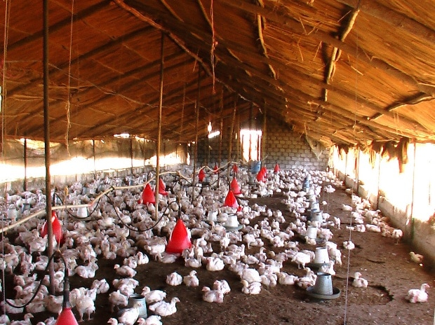 Bird flu won't have any impact on India's poultry exports