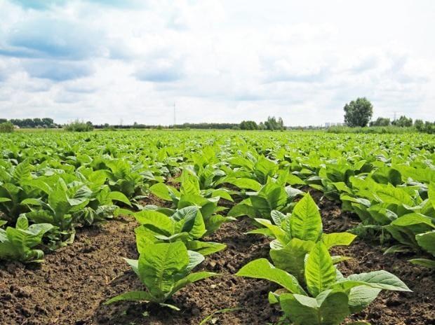 tobacco farm, cigarettes
