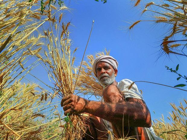 farmer, agriculture, paddy