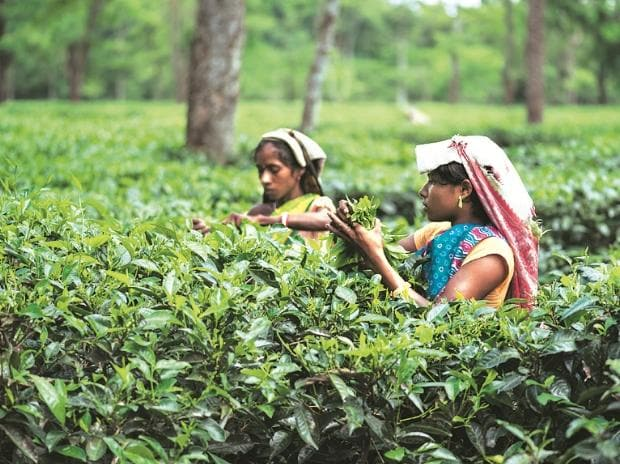After wage hike, Assam tea workers may face retrenchment in