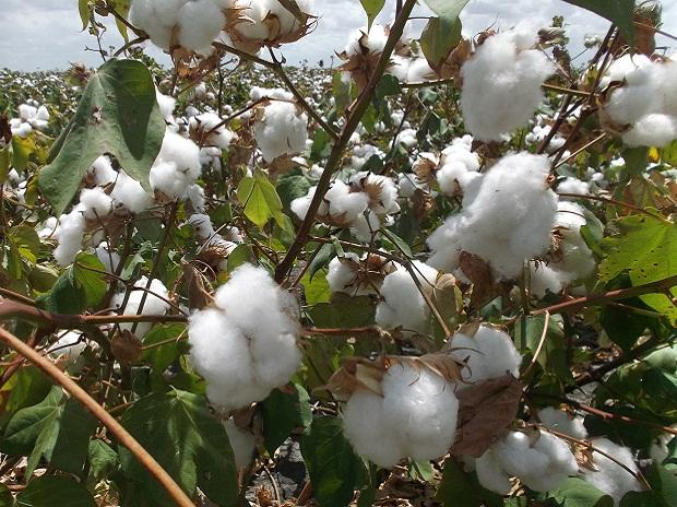 The pink bollworm has been damaging Maharashtra's cotton crop since the last two years.