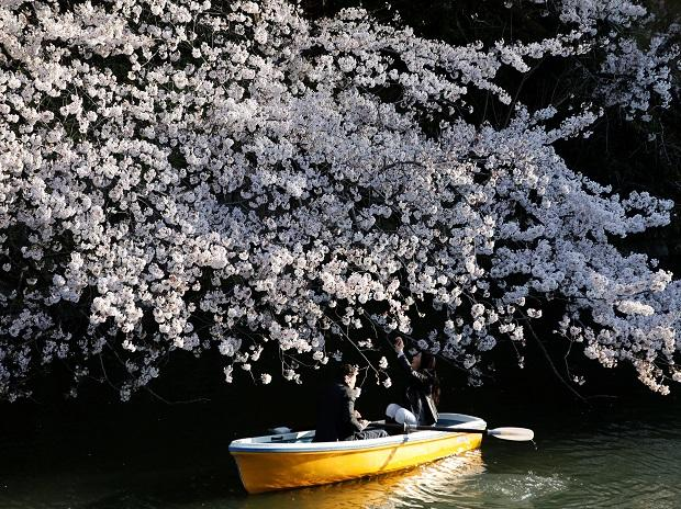 A couple rides a boat underneath cherry blossoms in full bloom in Tokyo