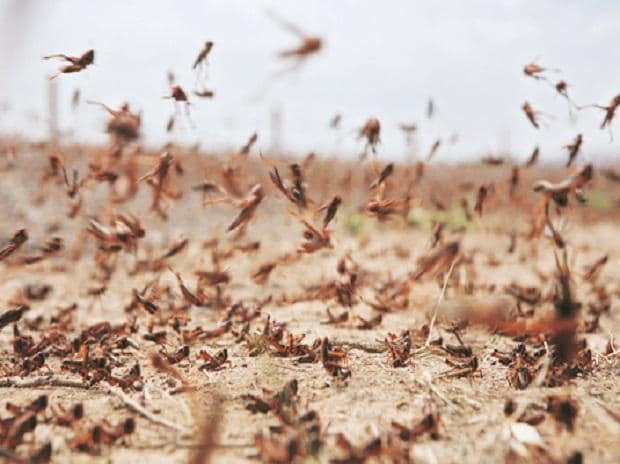 Swarms of Locusts Take an Unusual Route, Enter Jaipur's Residential Areas