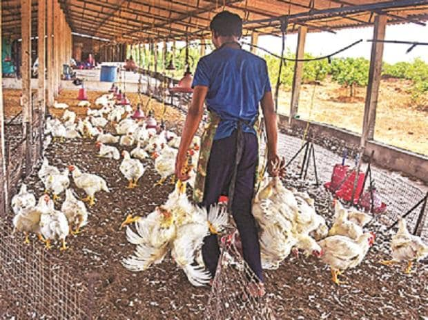 chicken farming, poultry