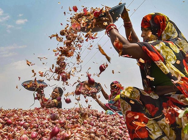 Labourers sort onions after harvesting at a field. Photo: PTI