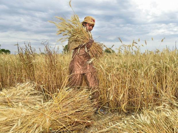 A woman reaps wheat crops during the harvest season amid the nationwide COVID-19 lockdown, near Raispur village in Ghaziabad district of Uttar Pradesh