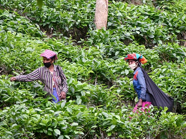 Tea garden workers follow social distancing guidelines while working in a tea estate, during ongoing COVID-19 lockdown, on the outskirts of Dharmanagar in Tripura. Photo: PTI