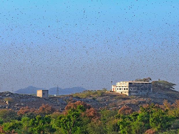 A swarm of locusts are seen over a farm at Fatehgarh Salla village near Beawar.. Photo: PTI
