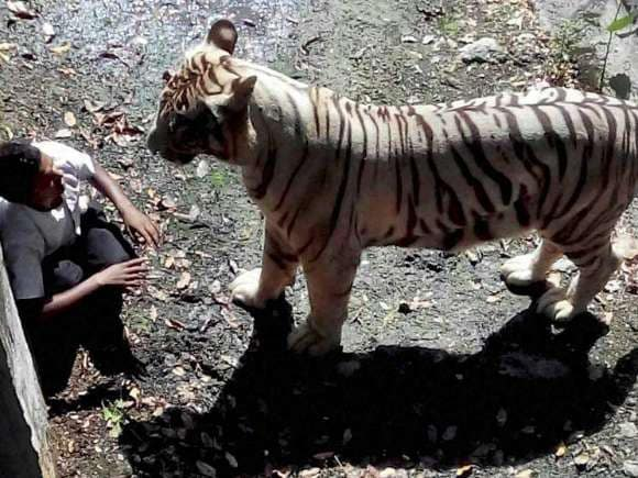 White tiger, Delhi zoo, Police, Student