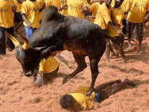 The bull tamers are taming the bulls during the Jallikattu that was organised at Avaniyapuram