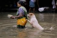 A stray dog takes the support of a woman to cross a flooded street in Kolkata