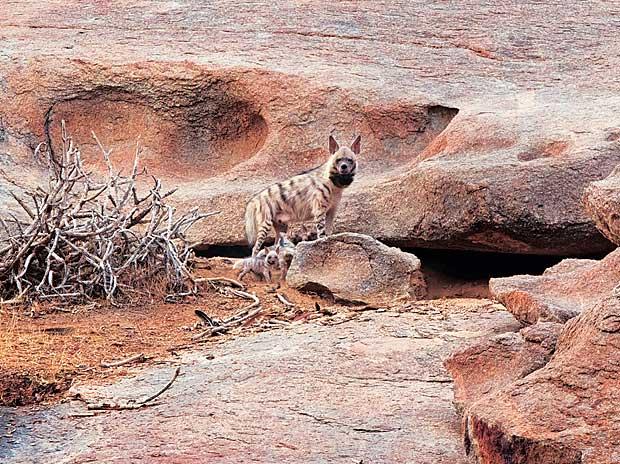Jawai, JAWAI LAND OF THE LEOPARD,Anjali Singh, Jaisal Singh, hyena