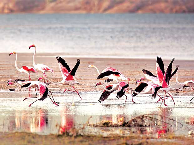 Jawai, JAWAI LAND OF THE LEOPARD,Anjali Singh, Jaisal Singh, flamingos