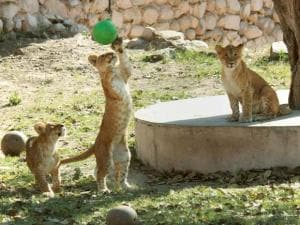 Cubs of lioness Vasundhara playing with a ball near their cave at Lucknow Zoo