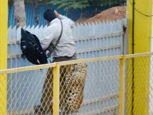 A leopard attacks a cameraman in a school premises in_Bengaluru