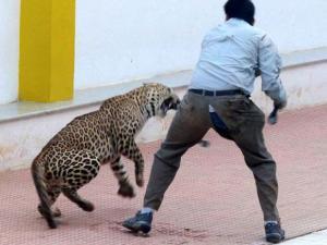 A leopard_attacks a man in a school premises in Bengaluru