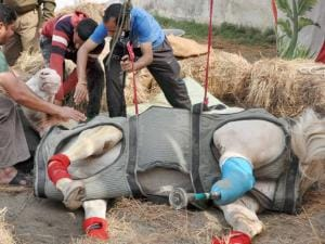 Police horse Shaktiman was given a prosthetic leg after his leg was badly broken
