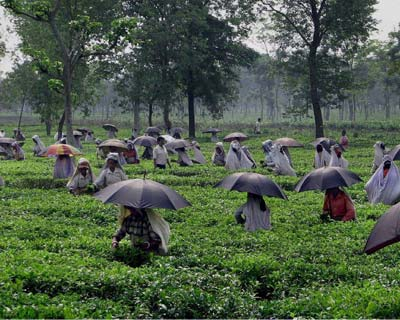 Women labourers plucking tea leaves