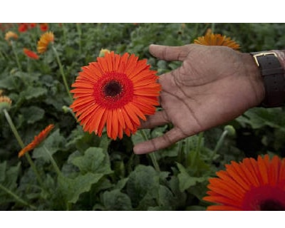 "<p><b>Flower grower Rahul Pawar shows a red gerbera growing in polyhouse during a tour of his property in Satara district, about 285km (177 miles) south of Mumbai</b></p><p>A decade ago, Rahul Pawar made an unusual and risky choice, to grow flowers in the centre of India's biggest sugar-producing state Maharashtra. Now he's reaping the rewards of his Rs 11 crore investment as increasingly affluent Indians want his bright blooms for their weddings and festivals.</p><p>""Every year we are seeing a rise in demand. People are using more and more flowers at functions like weddings,"" Pawar said.</p><p>'They are ready to pay for flowers like gerbera and gladioli, which are new to them,' he added, holding a fluorescent bird of paradise bloom in his weather-beaten hands.</p><p><p>Pawar grows orange and red gerberas under polythene in climate-controlled conditions to shield them from Maharashtra's scorching summer, when temperatures can top 48 C</p><p>The hardier birds of para"