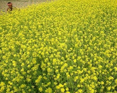 <p><b>A man works in a mustard field on the outskirts of Agartala</b></p><p>India's monsoon rains are likely to be within long-term averages in 2012, the weather office head said on Monday, reassuring farmers ahead of next week's official for
