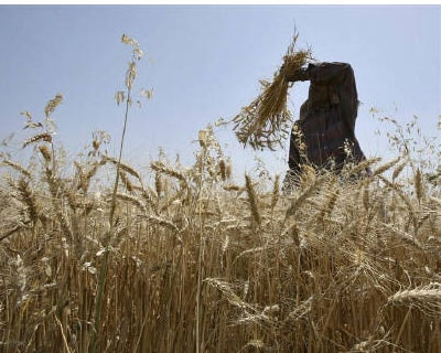 <p><b>A labourer wipes sweat from his forehead as he works in a wheat field on the outskirts of Jammu</b></p><p>The government is considering lifting a ban on wheat exports by April or May, Junior Farm Minister Arun Jadhav said on Tuesday, as the cou