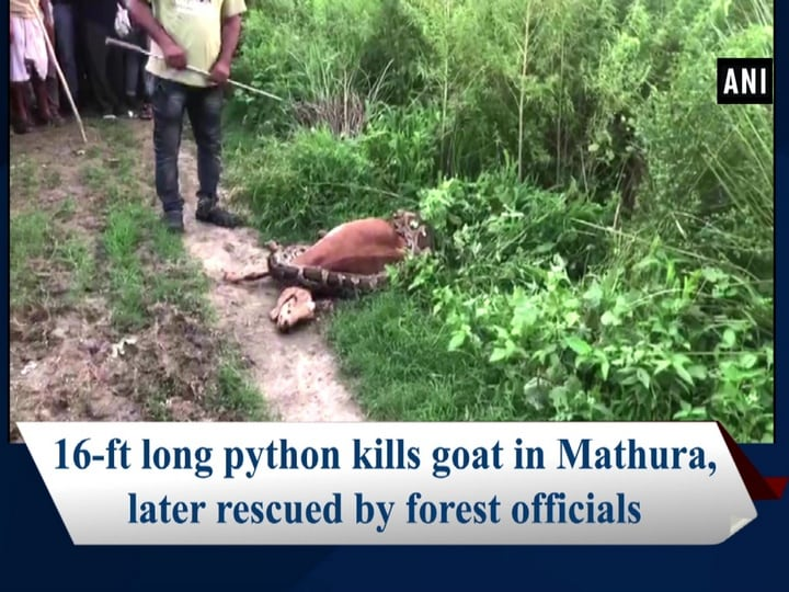 16-ft long python kills goat in Mathura, later rescued by forest officials