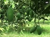 Businessmen pin hopes on FIFA world cup to help boost mango exports